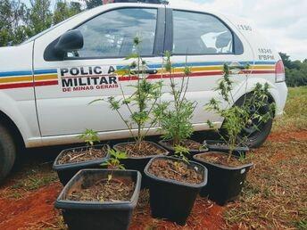 Polícia Militar apreende plantas de maconha que eram cultivadas em um sítio após denúncia anônima