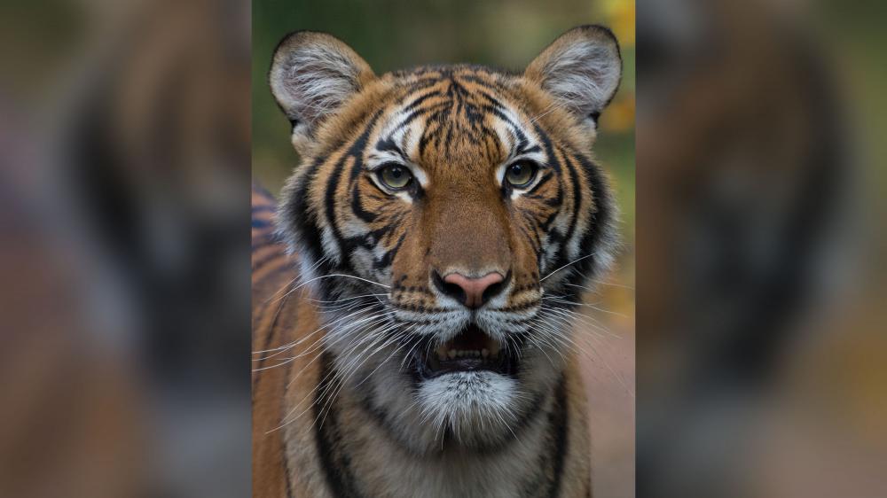 Tigresa testa positivo para coronavírus em zoológico de Nova York